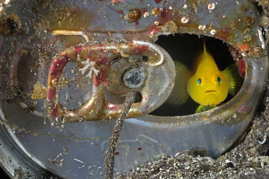 A Yellow Gobi makes its home inside an abandoned aluminum can on the volcanic sandy bottom on Suruga Bay, Osezaki, Japan. Izu Peninsula.