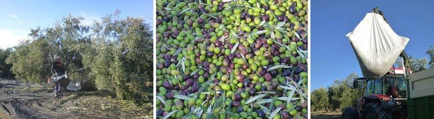 Nuestro delicioso aceite de oliva virgen extra ecológico Bosque de Olivos. Lo enviamos a casa. Somos productores. Consulta nuestros productos. Tienda online